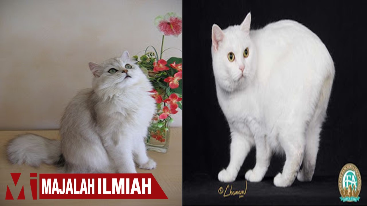 kucing pedigree